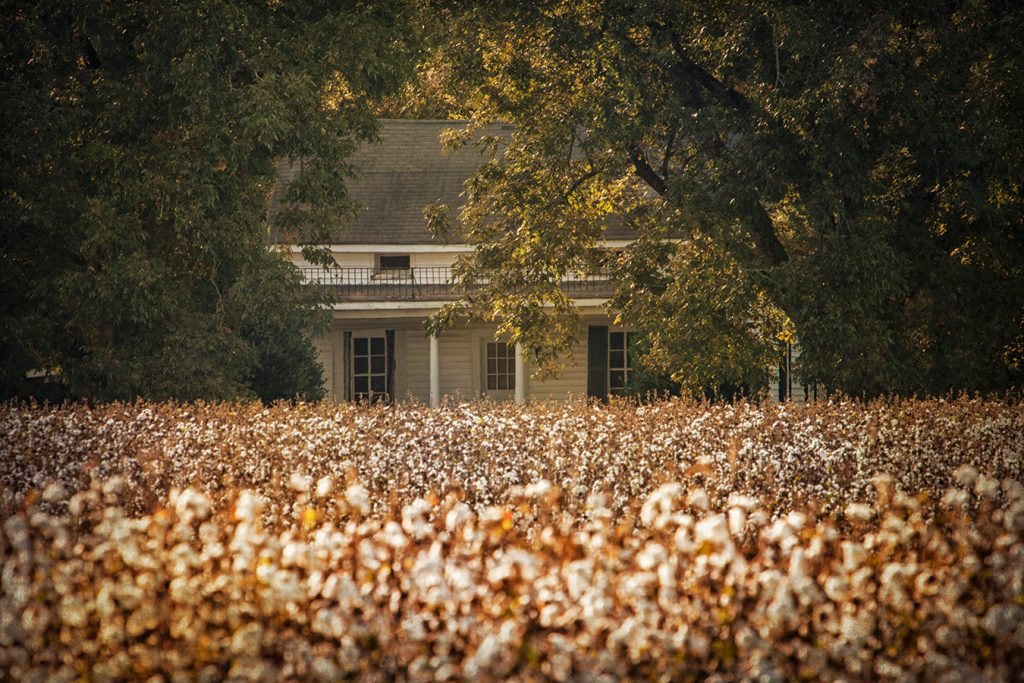 Cotton field near Vernon, Alabama    Photograph submitted by Steve Minor